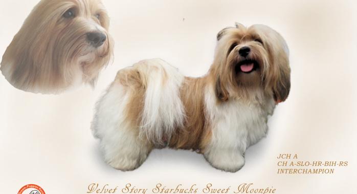 Havaneserzucht Dream Puppies Havaneser Welpen Burgenland Neue Seite